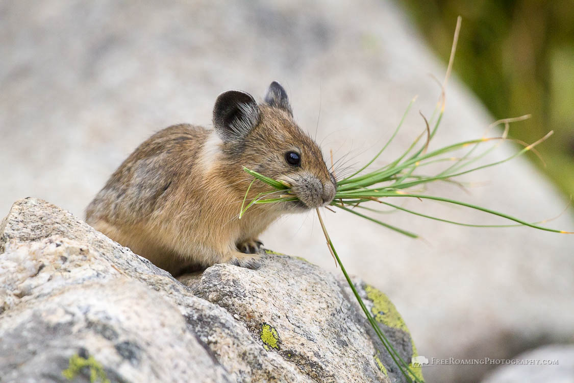 Pika Carrying Grass