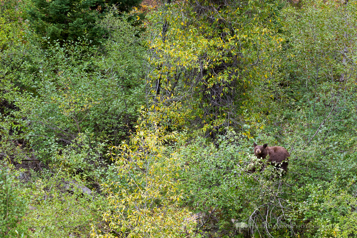 Black Bear in Bushes