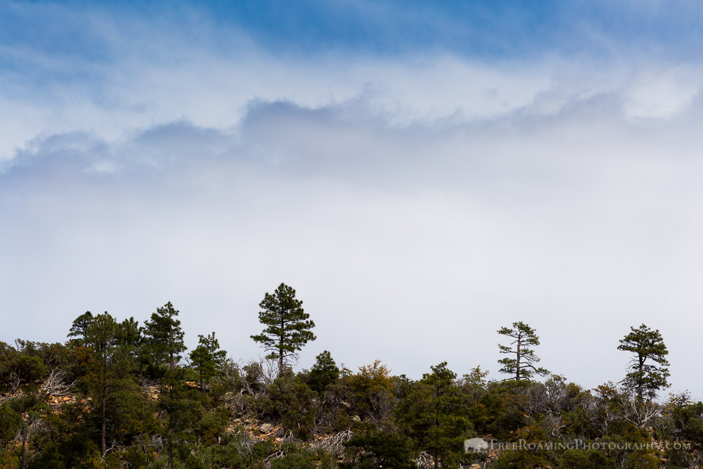 Pine Trees Against Clouds
