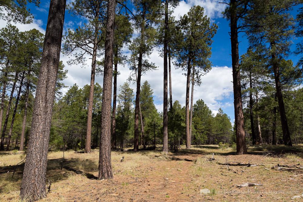 Tall Ponderosa Pine Trees