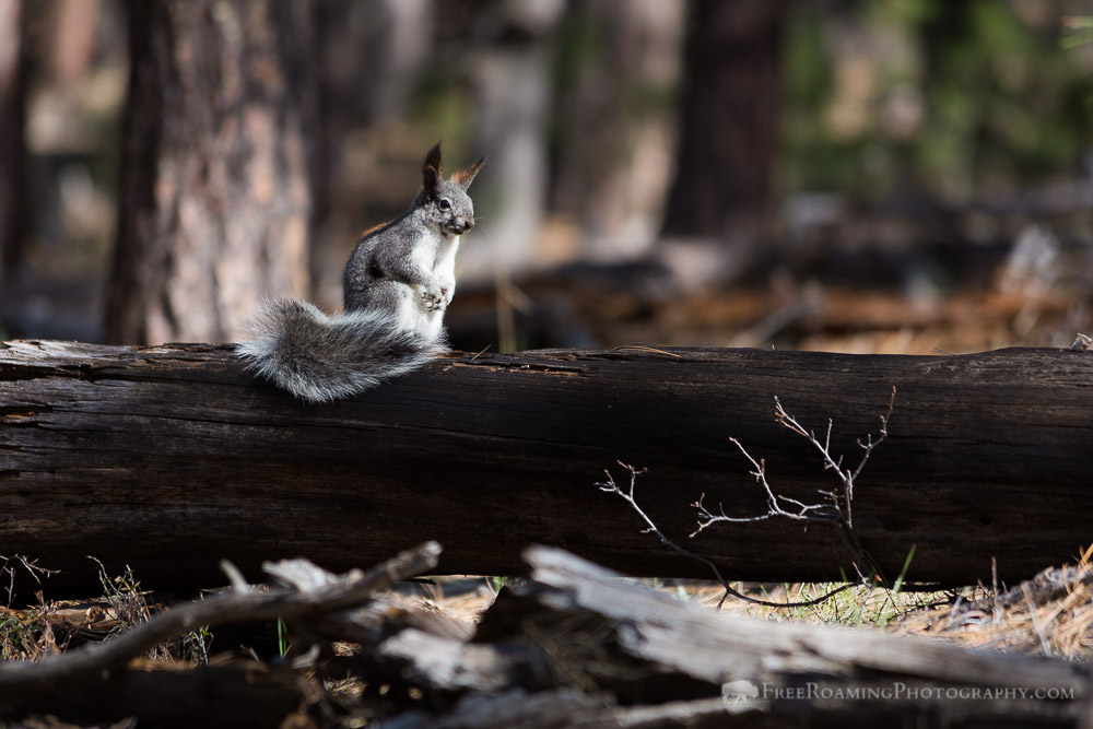 Cautious Kaibab Squirrel