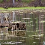 Tree Stumps in Pond