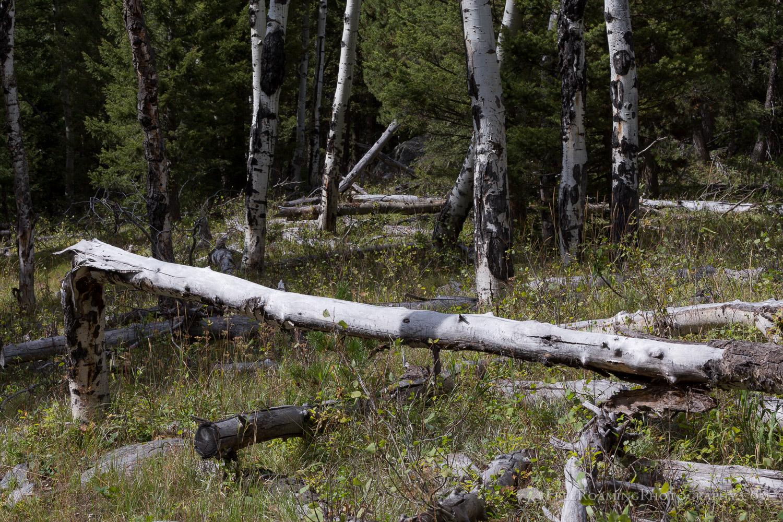 Dying Aspen Trees