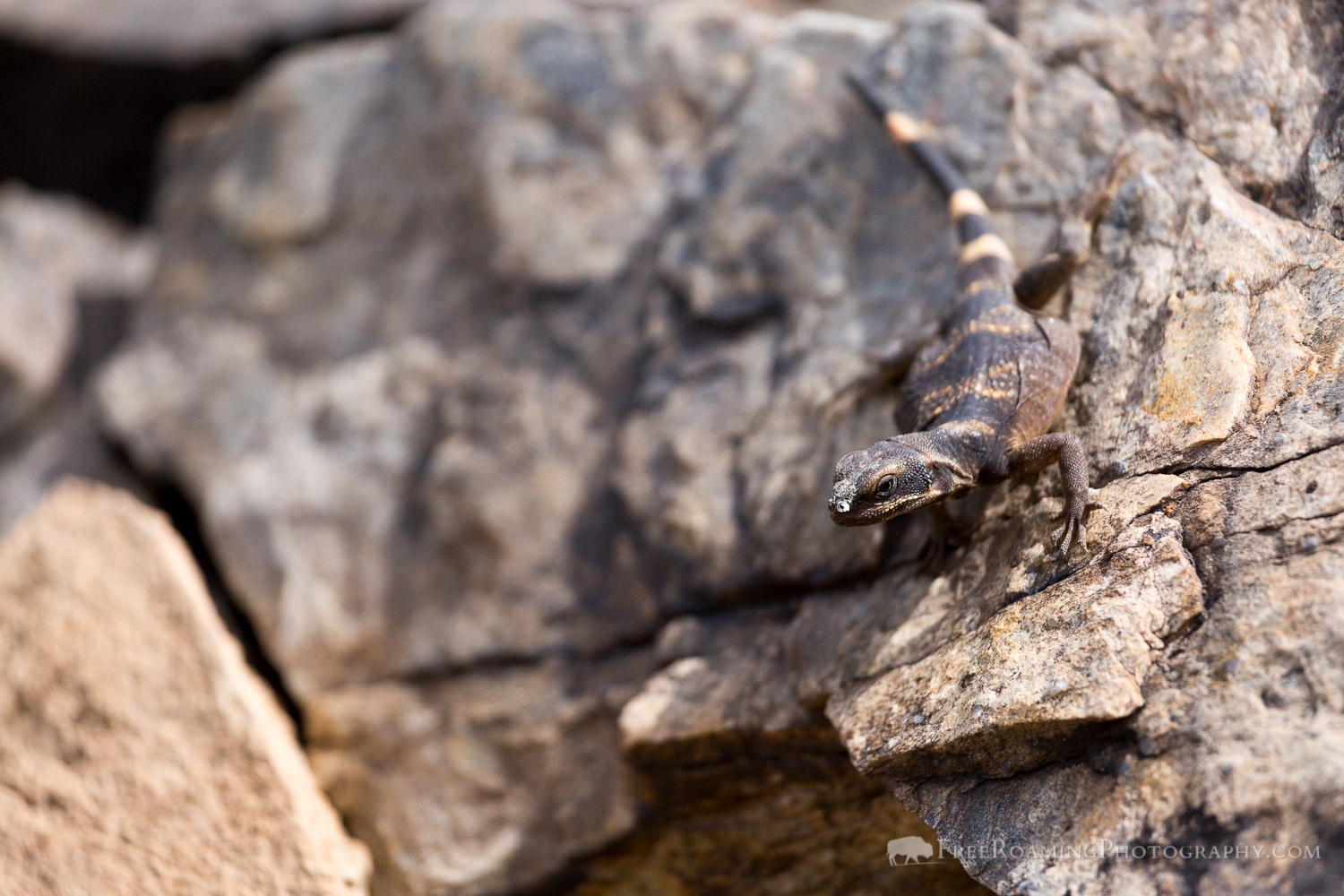 Chuckwalla on Rock