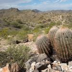 Barrel Cactus in Desert Mountains