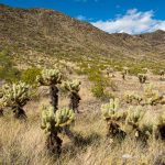 Cholla Cactus and Mountains