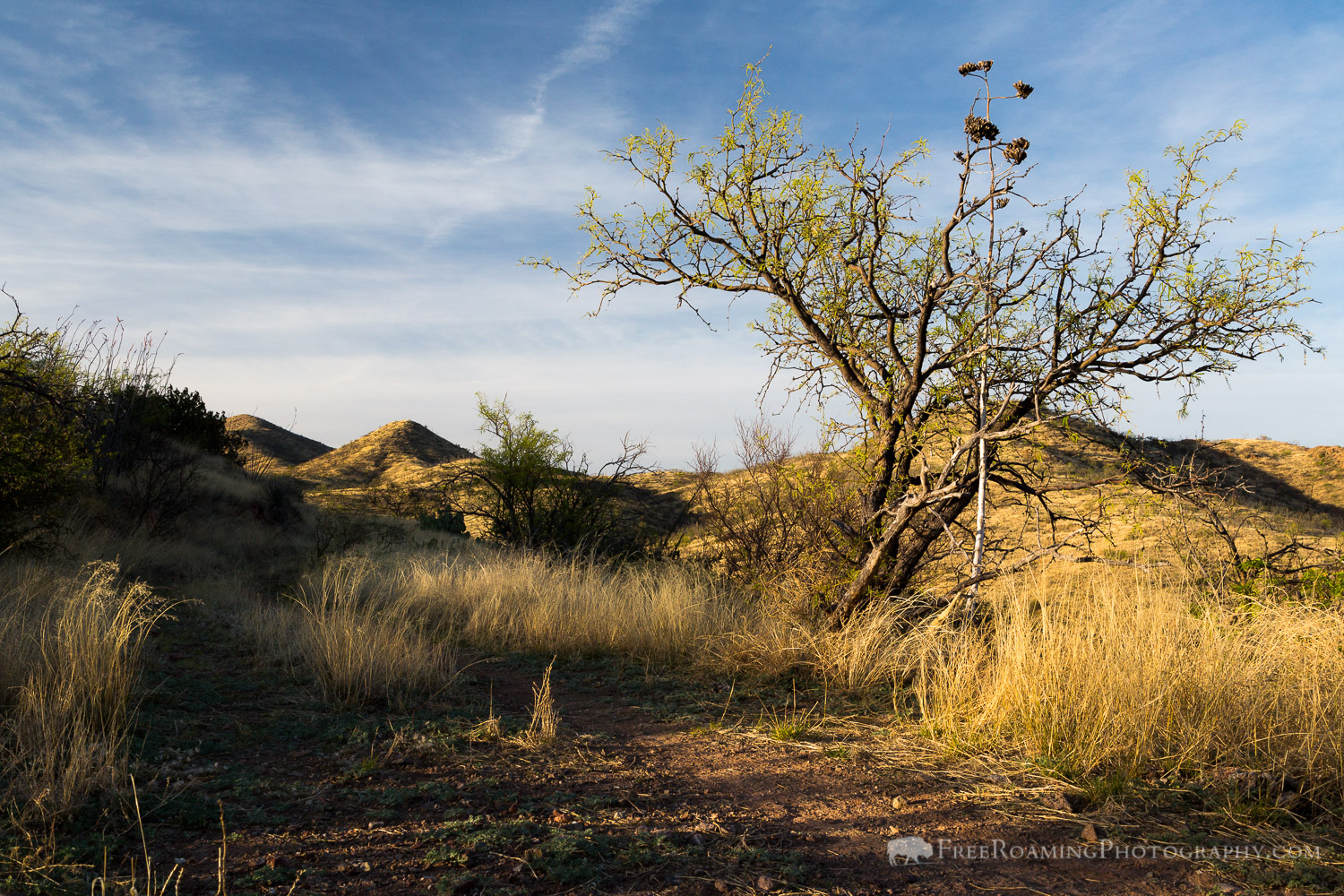 Mesquite Tree in Desert Grasslands