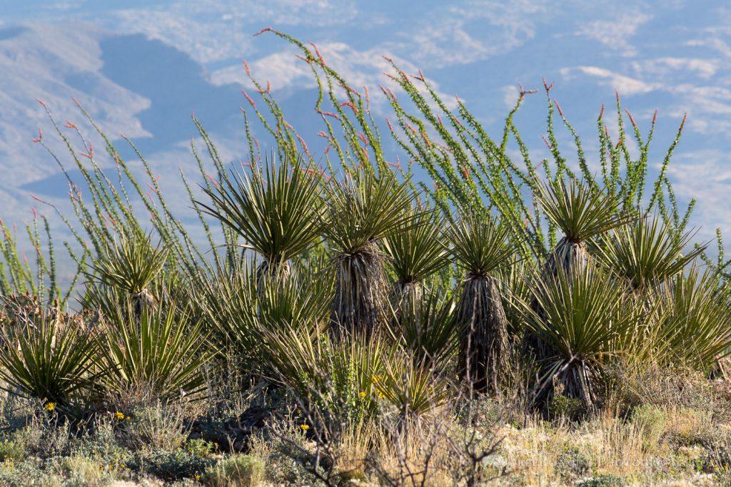 Ocotillo and Yucca Plants