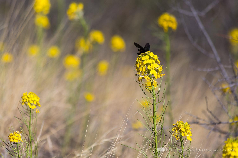 Butterfly on Sanddune Wallflower