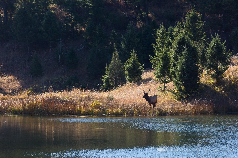Bull Elk Near Water