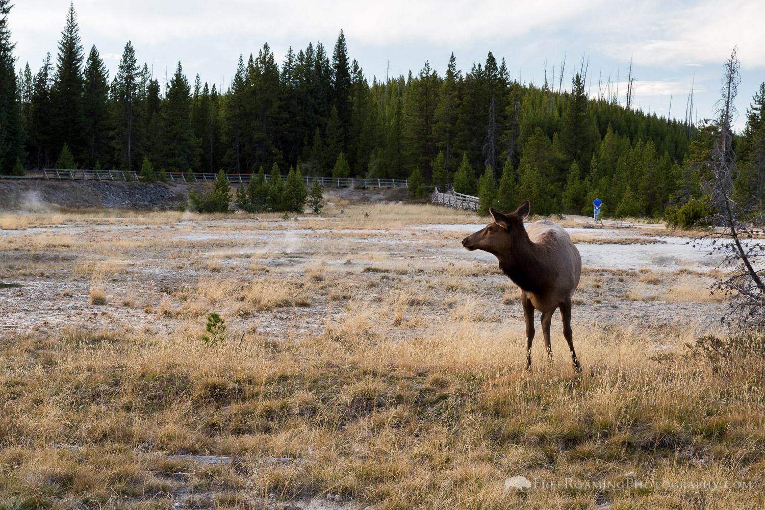 Elk at West Thumb