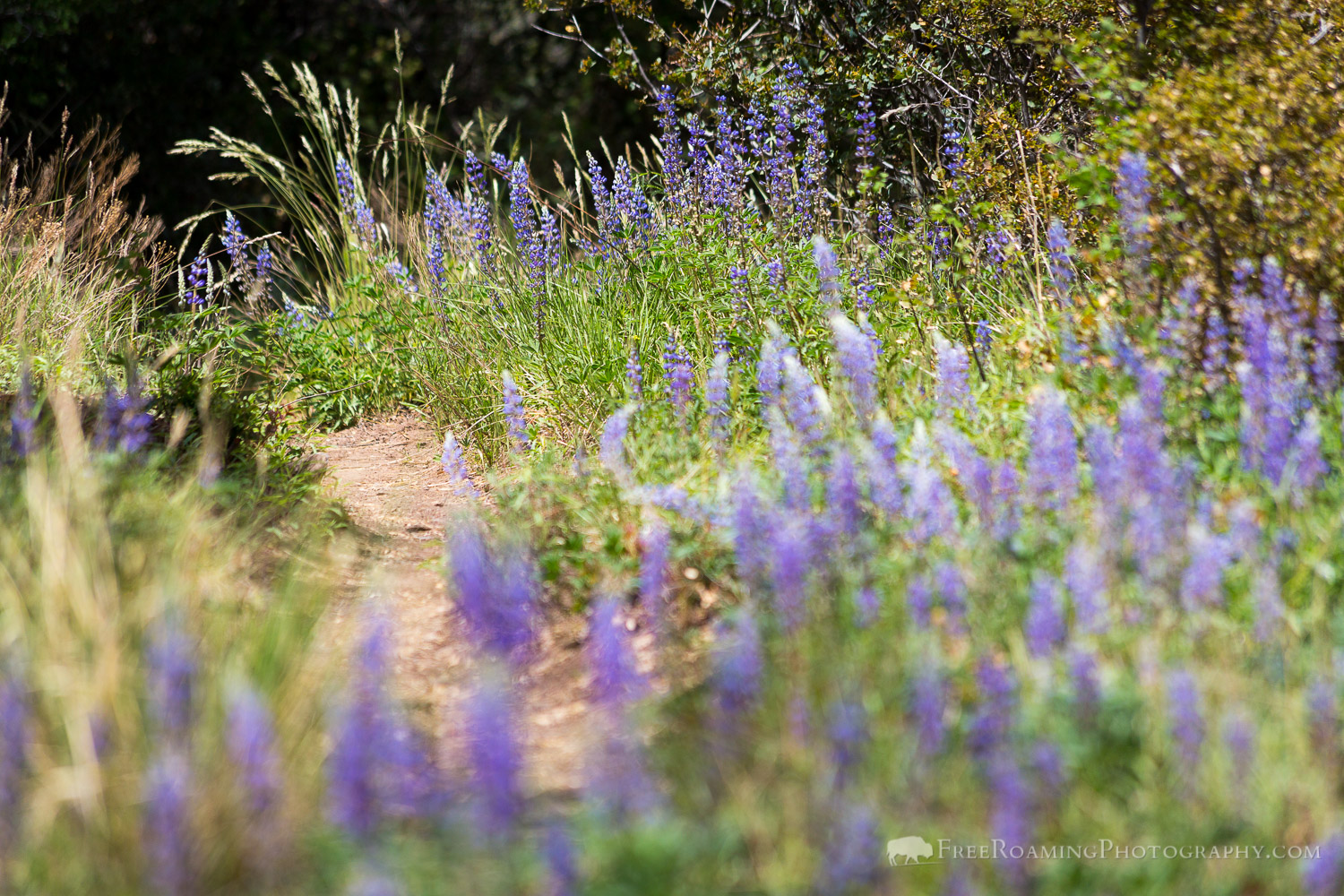Lupine Wildflowers Along Hiking Trail
