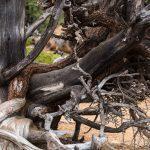 Old Bristlecone Pine