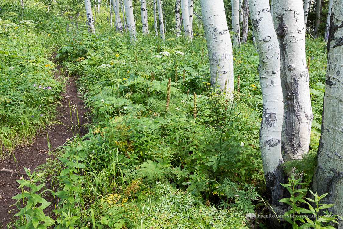 Aspen Trees and Undergrowth
