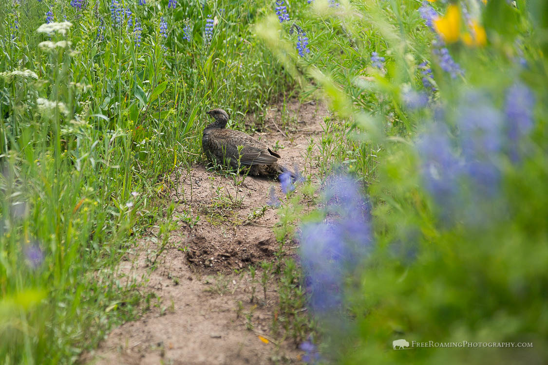 Sage Grouse in Wildflowers