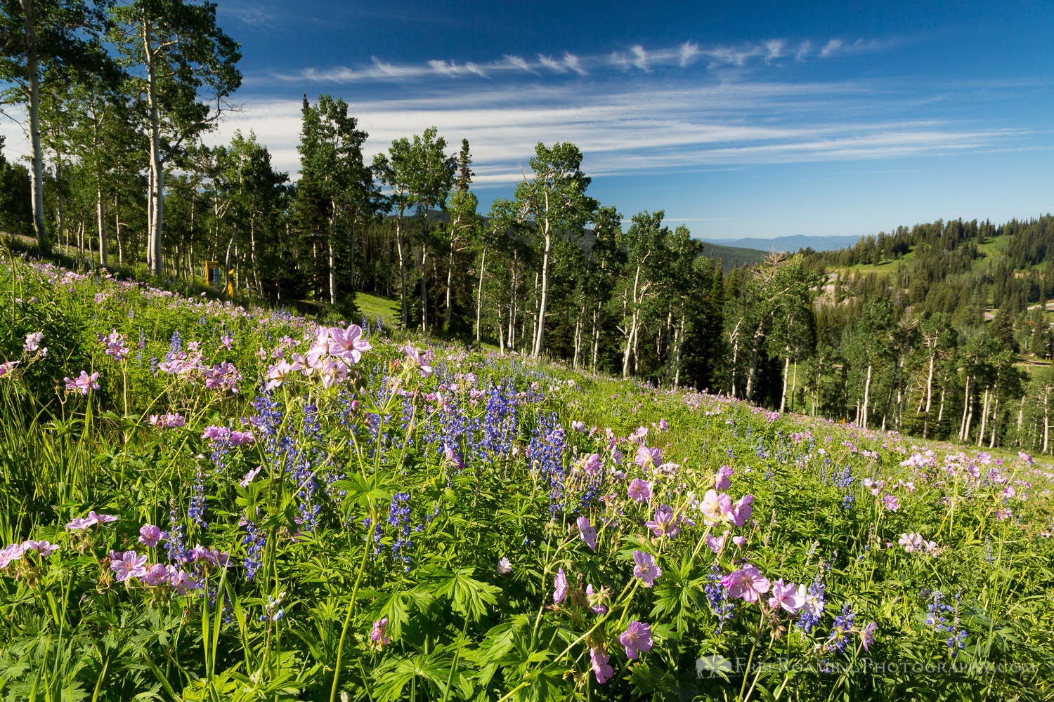 Wildflowers in Aspen Grove