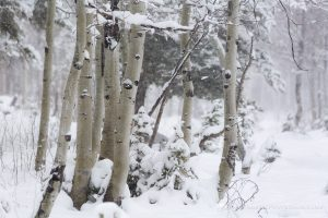 Aspen Grove in Snow Storm