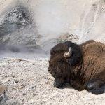 Bison Sleeping at Mud Volcano