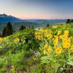 Balsamroot Wildflowers on Snow King