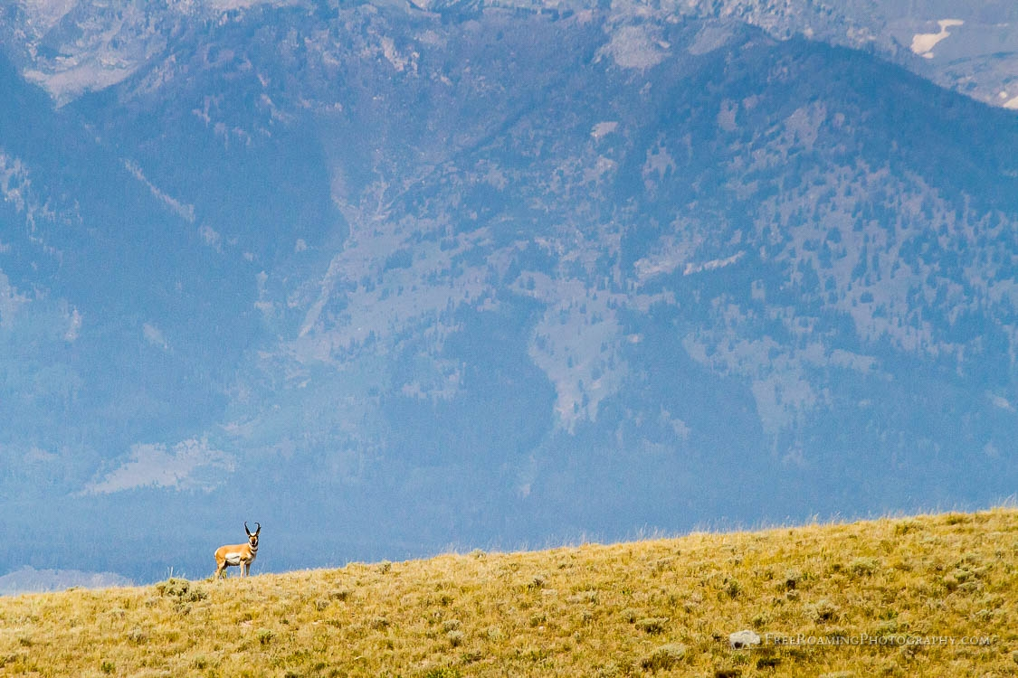 Pronghorn and Tetons