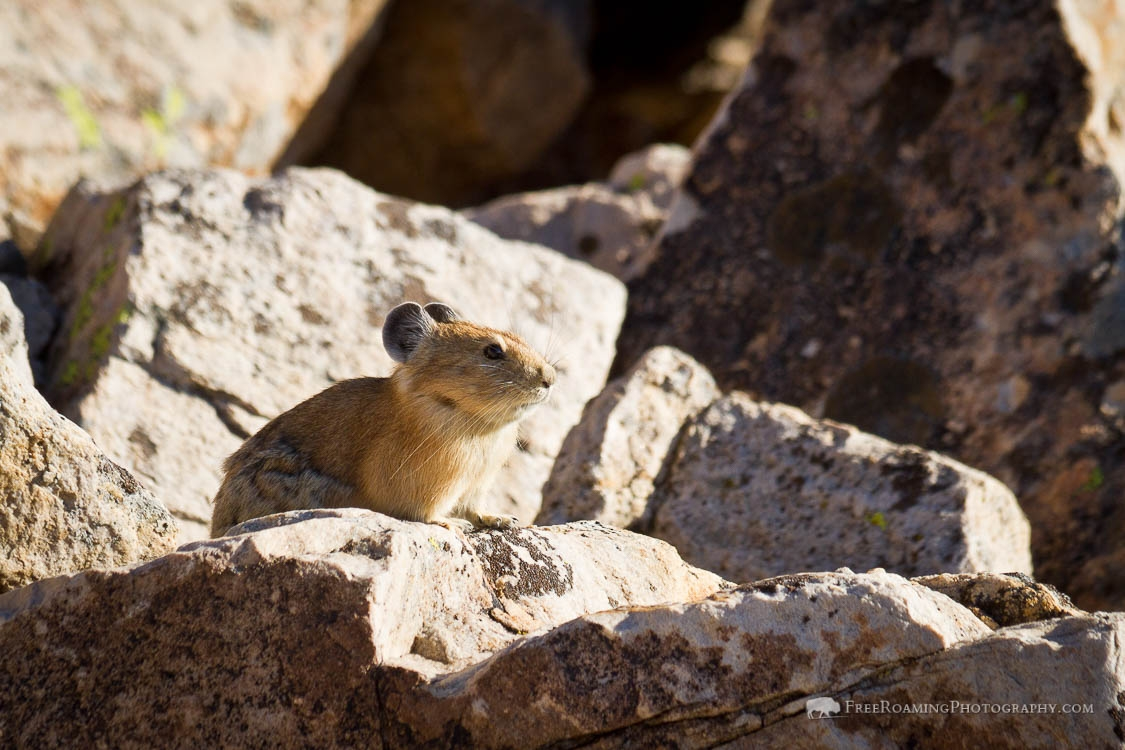 Pika on Boulders
