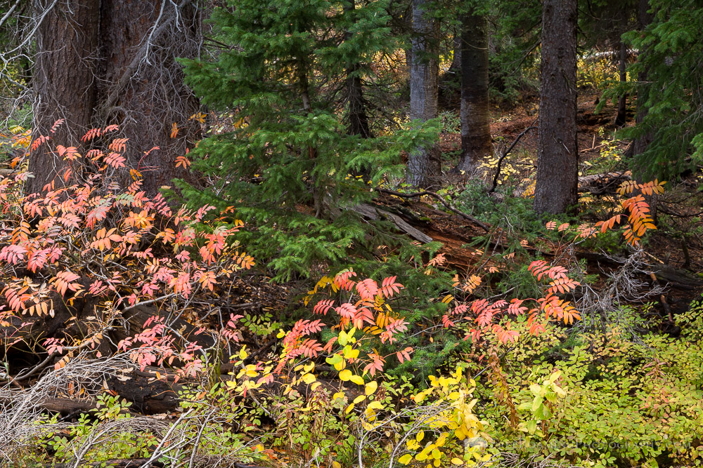 Fall Leaves and Evergreen Trees