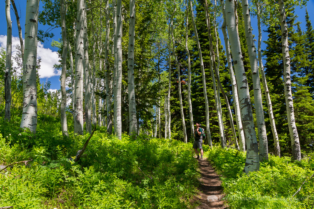 Hiker Admiring Aspen Tree Grove