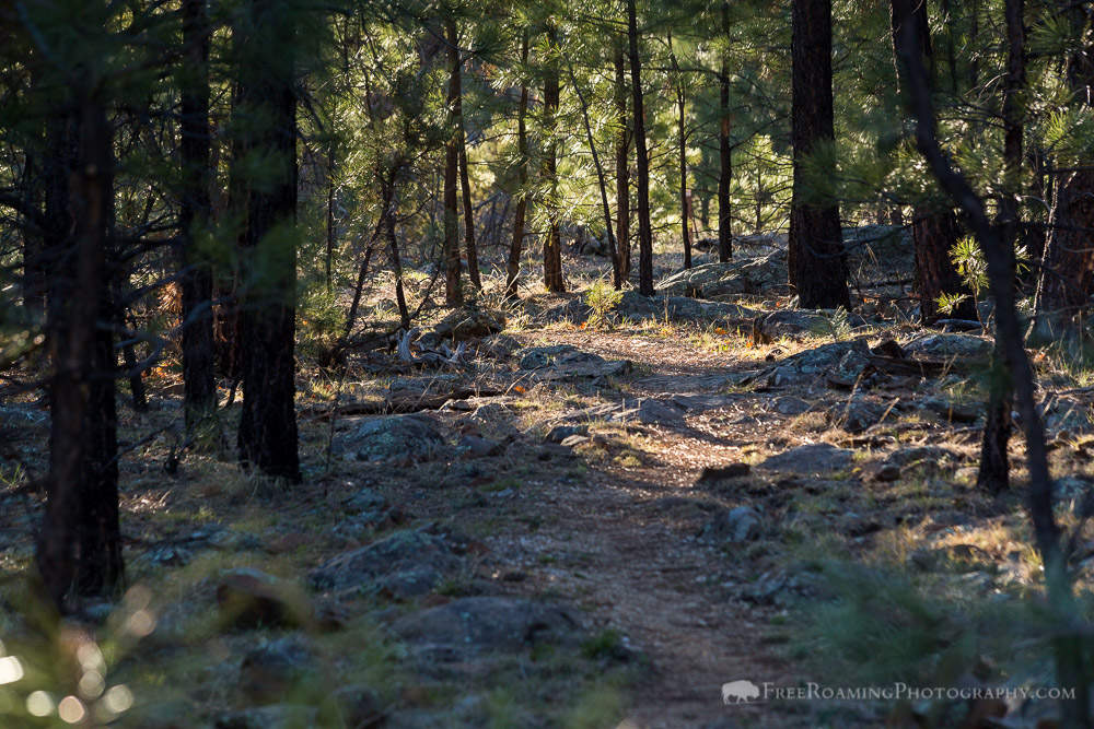 Arizona Trail in Pine Forest