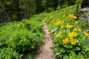 Balsamroot Along Phillips Canyon Trail