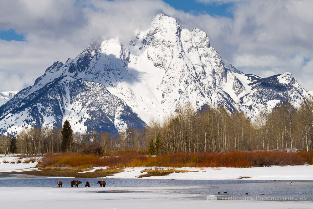 Grizzly Bears Along Oxbow Bend