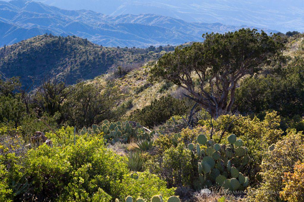 Juniper Trees and Cactus