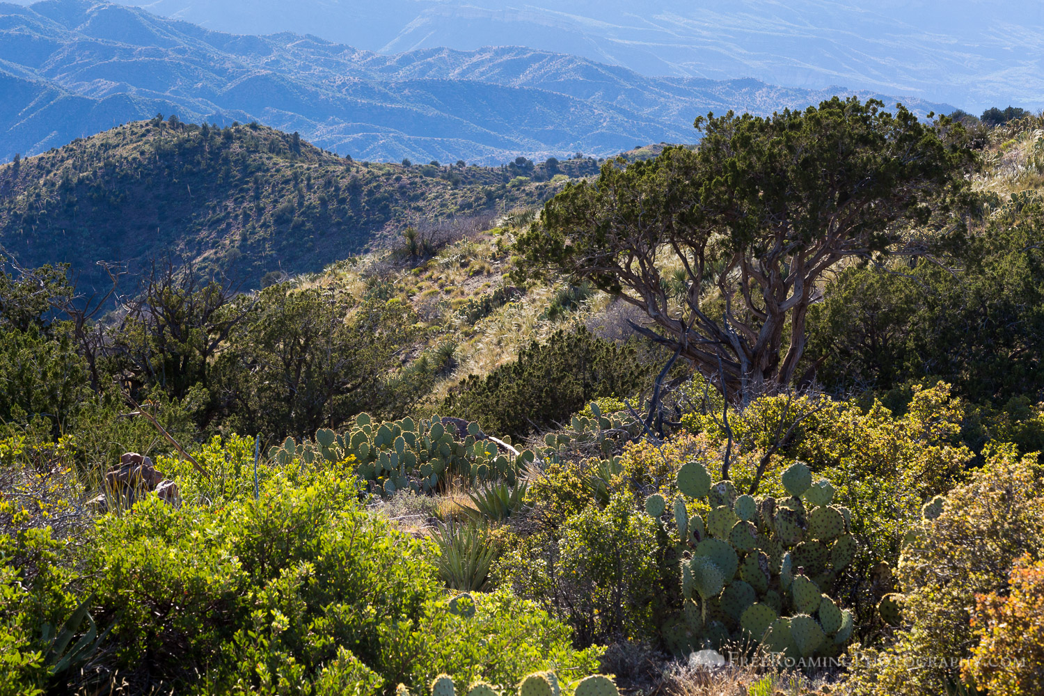 Juniper Trees and Cactus