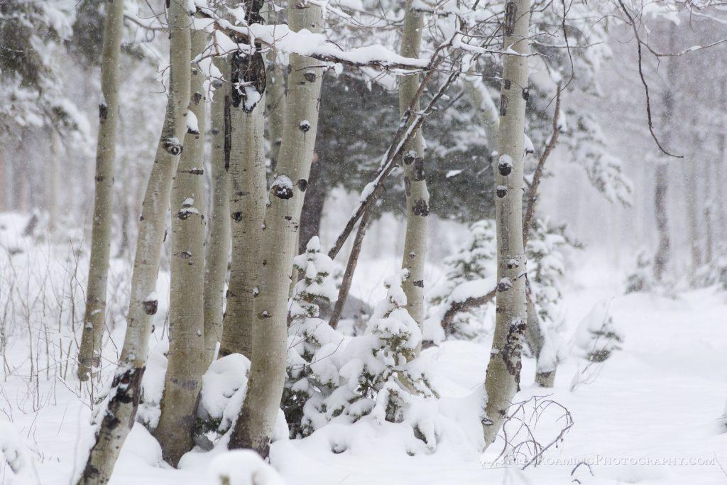 Aspen Grove in Snow Storm