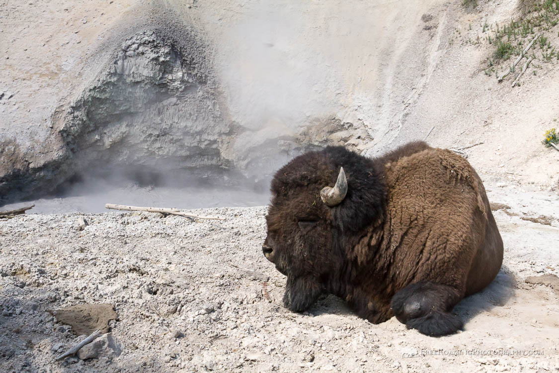 Bison Sleeping at Mud Volcano